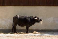 Water buffalo (Bubalus bubalis). Close-up of a Water buffalo (Bubalus bubalis Royalty Free Stock Photo