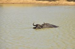 Water Buffalo (Bubalus bubalis) Royalty Free Stock Images