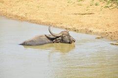 Water Buffalo (Bubalus bubalis) Royalty Free Stock Image