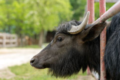 Water buffalo (Bubalus bubalis) Royalty Free Stock Photos