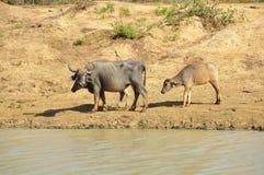 Water Buffalo (Bubalus bubalis) Royalty Free Stock Photography