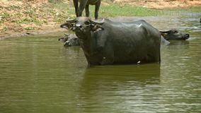 Water buffalo (Bubalus bubalis) in a large puddle looks unkindly Royalty Free Stock Photos