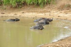 Water Buffalo (Bubalus bubalis) Stock Image