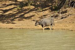 Water Buffalo (Bubalus bubalis) Stock Photos