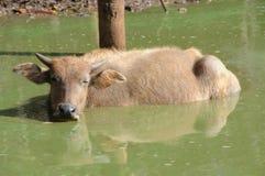 Water Buffalo (Bubalus bubalis) Royalty Free Stock Photo