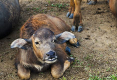 Water buffalo calf Royalty Free Stock Photo