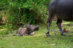 Water buffalo calf Stock Image