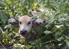 Water Buffalo Calf Looking Through Leaves Royalty Free Stock Photo