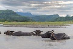 Water buffalo carabao at the river Stock Photo