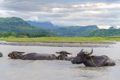Water buffalo carabao at the river Royalty Free Stock Photos