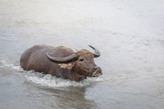 Water buffalo - Carabao in the river Stock Photos