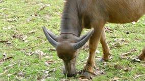 Water Buffalo in countryside farmland. Water Buffalo chew straw on the field in countryside farmland stock footage