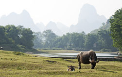 Water Buffalo in China Stock Photo