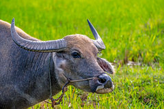 Water Buffalo. Stock Image