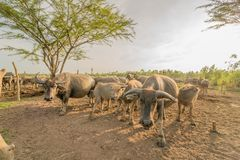 Water buffalo Royalty Free Stock Images
