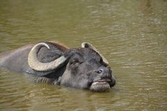 Water buffalo in pond Royalty Free Stock Image