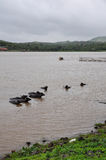 Water buffalo cooling in the lake in India Stock Photos