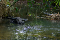 Water buffalo cooling off. An adult male Water buffalo cooling off submerged in a asian countryside river Royalty Free Stock Images