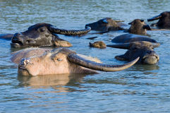 Water Buffalo cooling off royalty free stock image