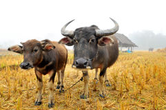 Water buffalo in country field Royalty Free Stock Photo