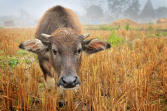 Water buffalo in country field Stock Photo