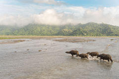 Water buffalo cross the river Royalty Free Stock Photo