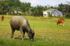 Water buffalo dirty with mud, grazing Stock Images