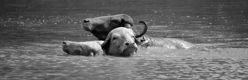 The water buffalo. Or domestic Asian water buffalo in water Royalty Free Stock Image