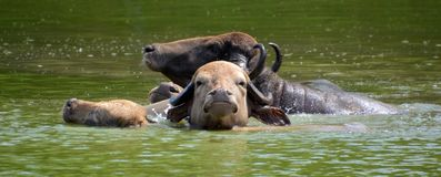 The water buffalo. Or domestic Asian water buffalo in water Stock Image
