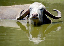 The water buffalo Stock Image