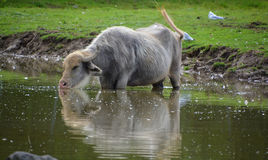 The water buffalo. Or domestic Asian water buffalo in water Stock Photo