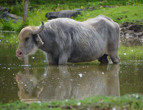 The water buffalo Royalty Free Stock Images