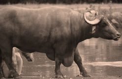 The water buffalo. Or domestic Asian water buffalo in water Stock Images