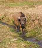 Water buffalo. Or domestic Asian  Bubalus bubalis Stock Photo