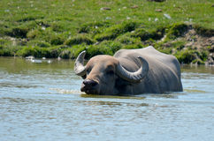 The water buffalo. Or domestic Asian water buffalo (Bubalus bubalis) is a large bovid originating in South, Southeast Asia and China. Today, it is also found in Royalty Free Stock Photography