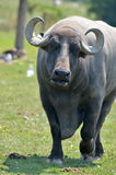 The water buffalo. Or domestic Asian water buffalo (Bubalus bubalis) is a large bovid originating in South, Southeast Asia and China. Today, it is also found in Royalty Free Stock Image