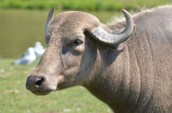The water buffalo. Or domestic Asian water buffalo (Bubalus bubalis) is a large bovid originating in South, Southeast Asia and China. Today, it is also found in Stock Photos