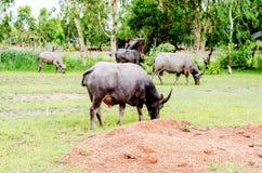 Water buffalo or domestic Asian water buffalo. Stock Photo