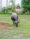 Water buffalo or domestic Asian water buffalo. Stock Photography