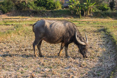 Water buffalo or domestic Asian water buffalo Royalty Free Stock Image
