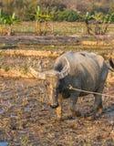 Water buffalo or domestic Asian water buffalo Royalty Free Stock Photography