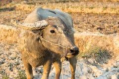 Water buffalo or domestic Asian water buffalo Stock Image