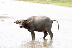 Water buffalo or domestic Asian water buffalo (Bubalus bubalis),. Lampang,Thailand Royalty Free Stock Photos