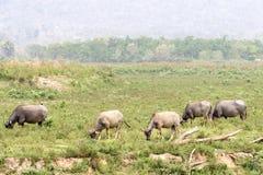 Water buffalo or domestic Asian water buffalo (Bubalus bubalis),. Lampang,Thailand Stock Photography