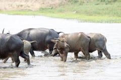 Water buffalo or domestic Asian water buffalo (Bubalus bubalis),. Lampang,Thailand Royalty Free Stock Photography