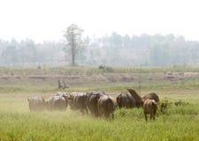 Water buffalo or domestic Asian water buffalo (Bubalus bubalis),. Lampang,Thailand Royalty Free Stock Photo