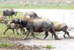 Water buffalo or domestic Asian water buffalo (Bubalus bubalis),. Lampang,Thailand Royalty Free Stock Images