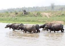 Water buffalo or domestic Asian water buffalo (Bubalus bubalis),. Lampang,Thailand Stock Images
