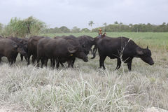 Water Buffalo in the dusty dry season in Belize Royalty Free Stock Photos