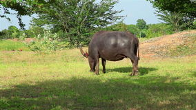 Water buffalo eat fresh grass and walk in field Royalty Free Stock Photos